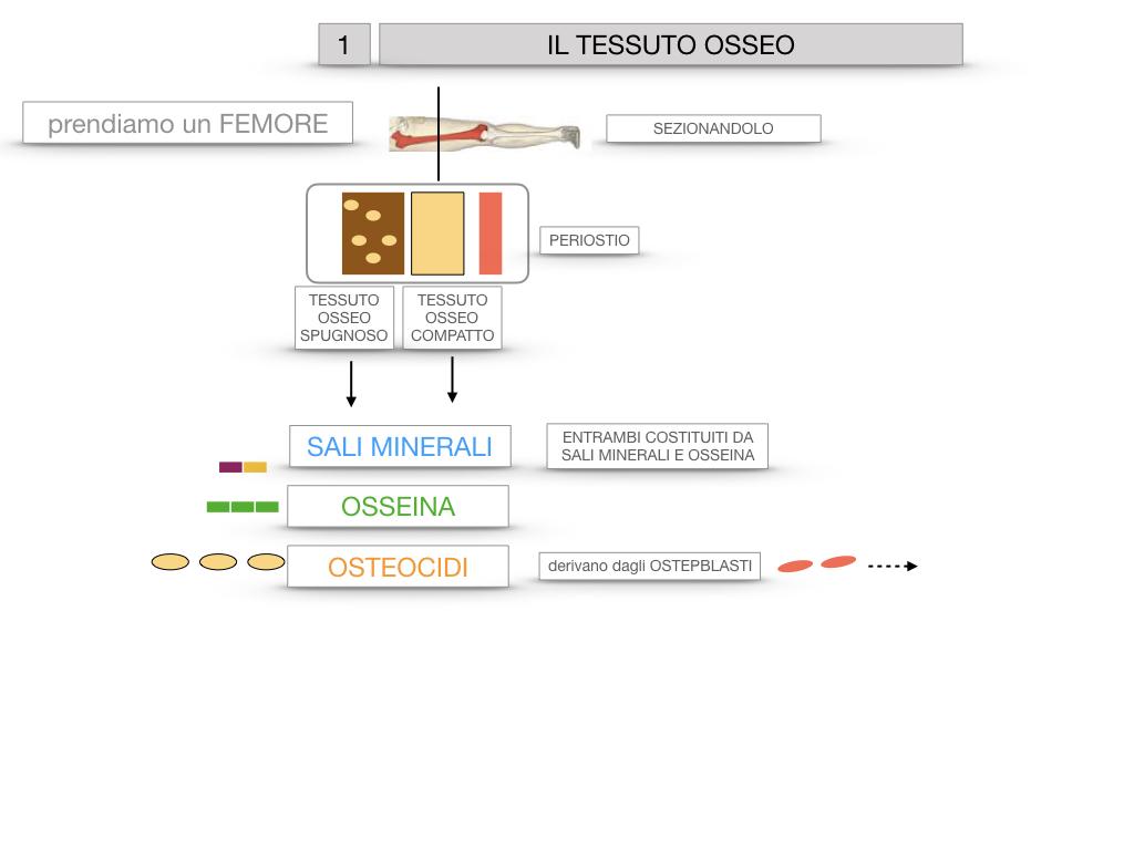 6. TESSUTO OSSEO_ CALCIFICAZIONE_MIDOLLO OSSEO_SIMULAZIONE.011