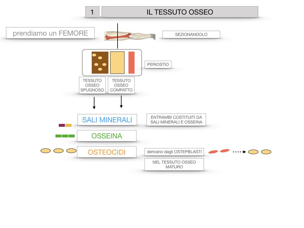 6. TESSUTO OSSEO_ CALCIFICAZIONE_MIDOLLO OSSEO_SIMULAZIONE.012