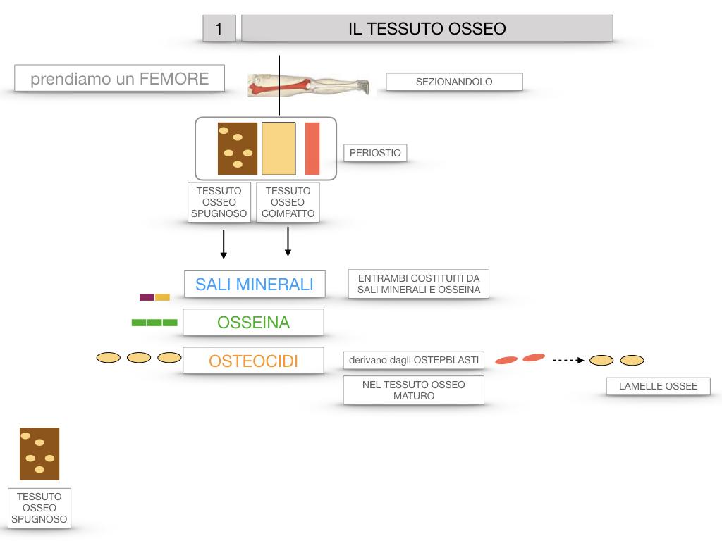 6. TESSUTO OSSEO_ CALCIFICAZIONE_MIDOLLO OSSEO_SIMULAZIONE.013