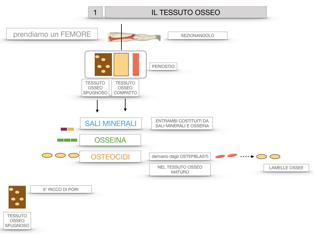 6. TESSUTO OSSEO_ CALCIFICAZIONE_MIDOLLO OSSEO_SIMULAZIONE.014