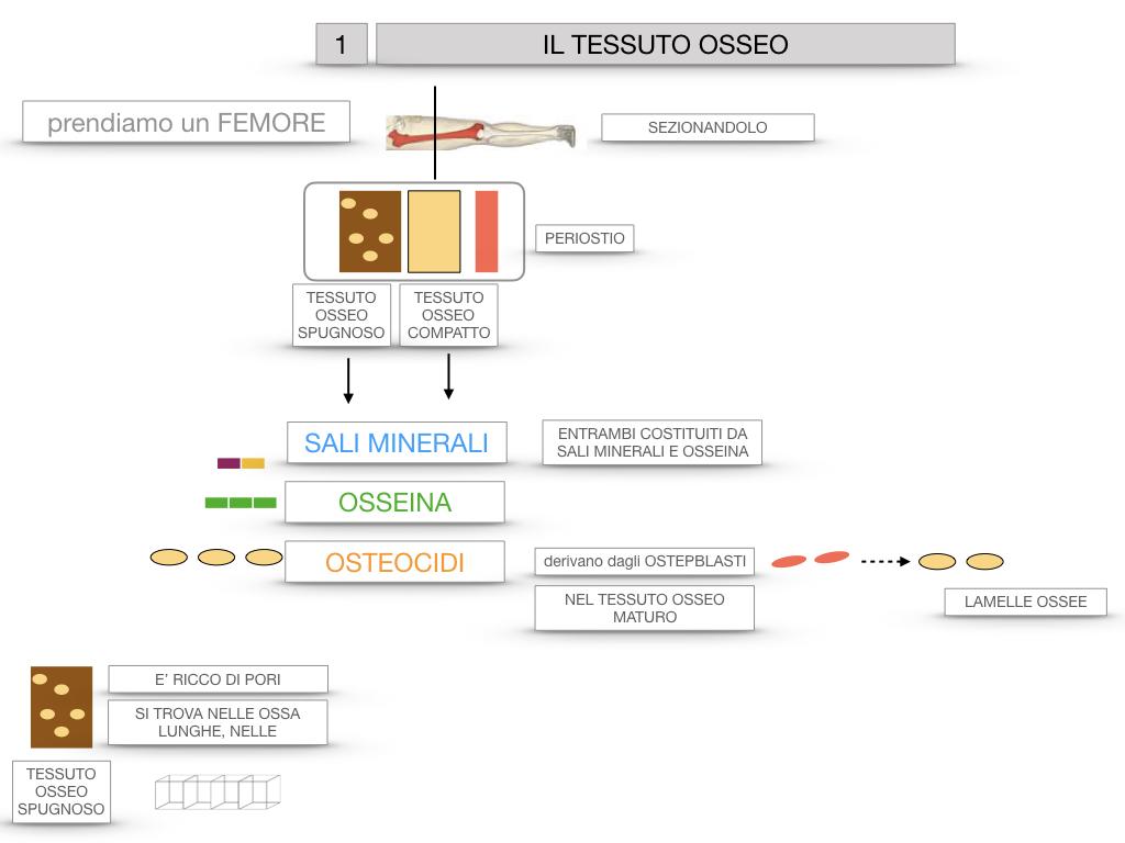 6. TESSUTO OSSEO_ CALCIFICAZIONE_MIDOLLO OSSEO_SIMULAZIONE.015