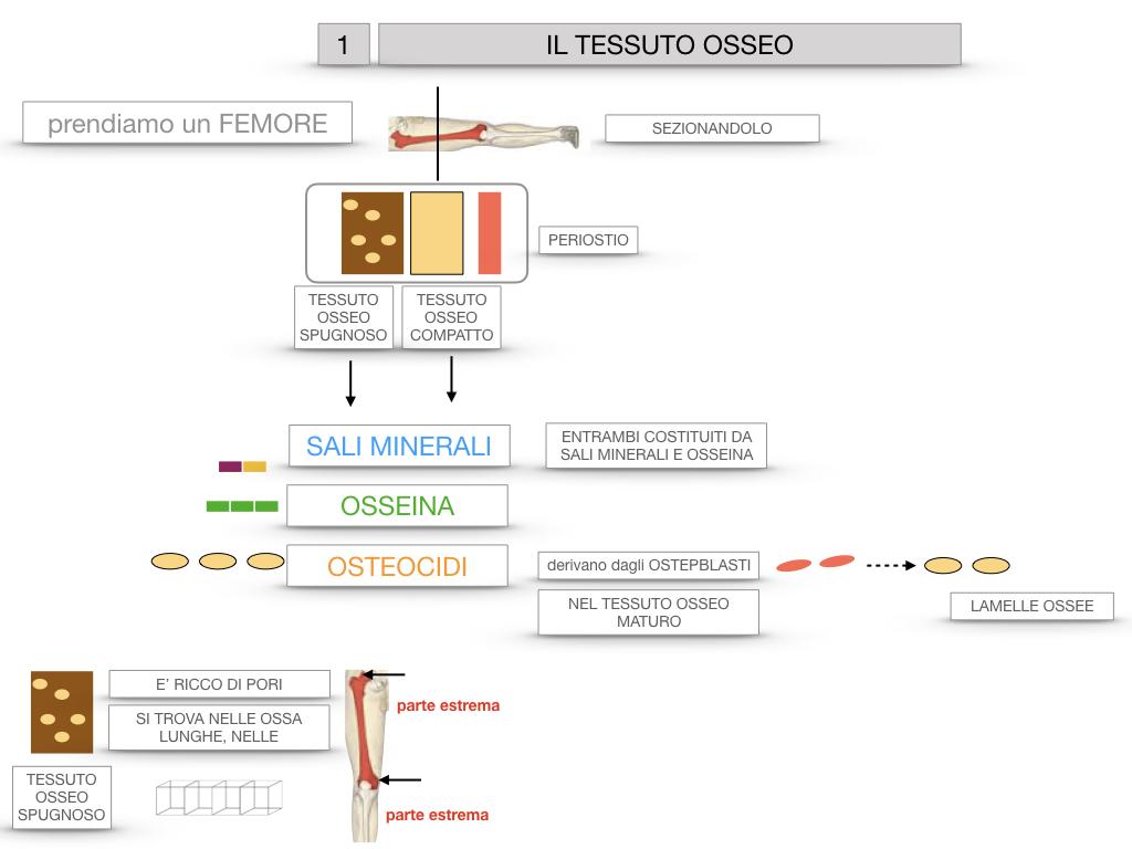 6. TESSUTO OSSEO_ CALCIFICAZIONE_MIDOLLO OSSEO_SIMULAZIONE.016