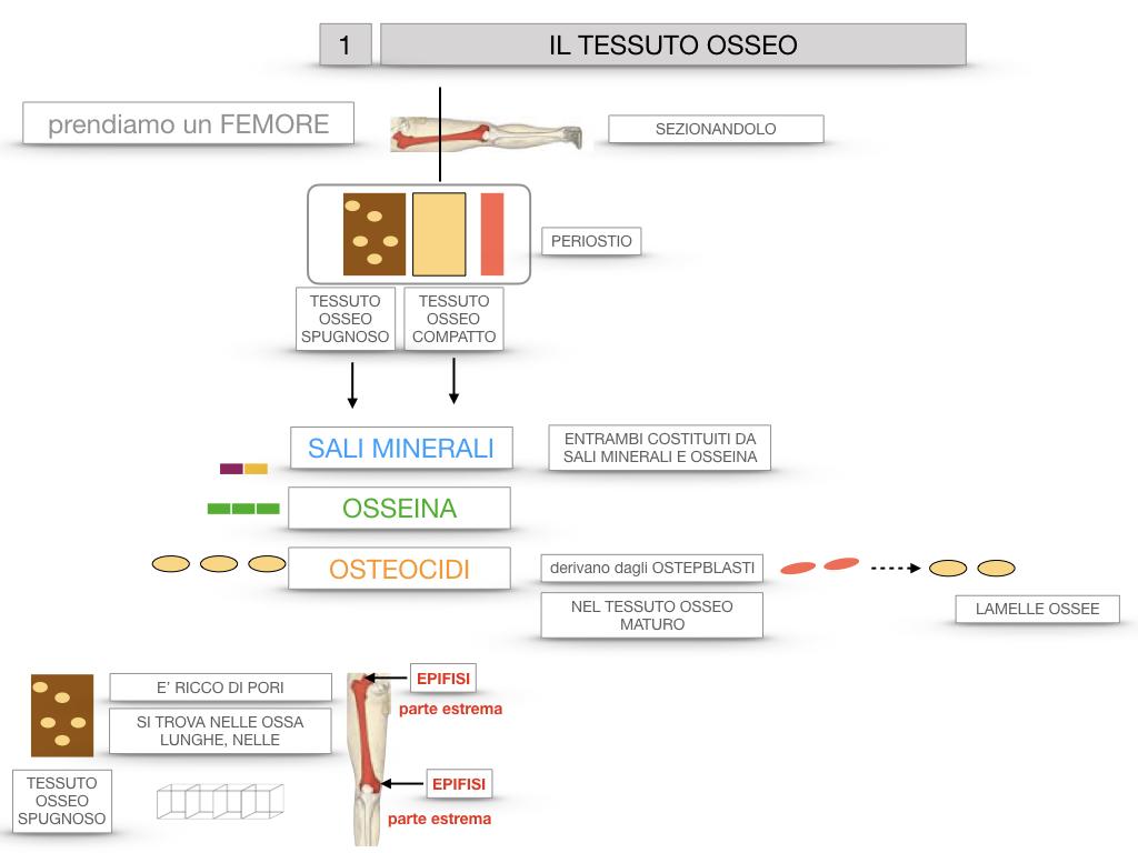 6. TESSUTO OSSEO_ CALCIFICAZIONE_MIDOLLO OSSEO_SIMULAZIONE.017