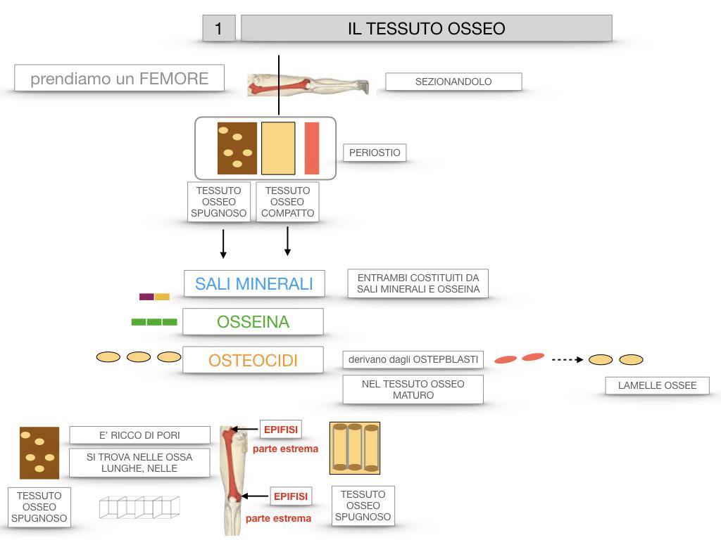 6. TESSUTO OSSEO_ CALCIFICAZIONE_MIDOLLO OSSEO_SIMULAZIONE.018