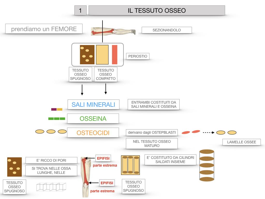 6. TESSUTO OSSEO_ CALCIFICAZIONE_MIDOLLO OSSEO_SIMULAZIONE.019