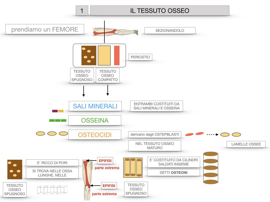 6. TESSUTO OSSEO_ CALCIFICAZIONE_MIDOLLO OSSEO_SIMULAZIONE.020