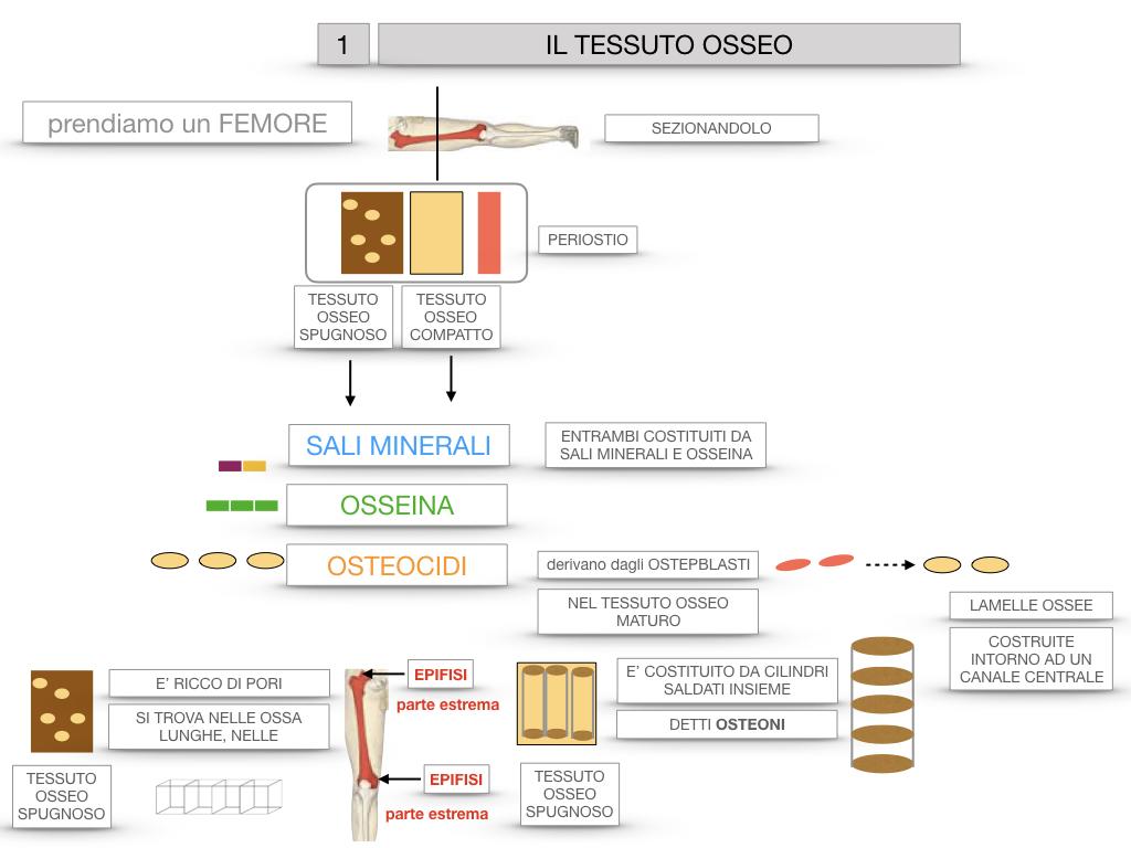 6. TESSUTO OSSEO_ CALCIFICAZIONE_MIDOLLO OSSEO_SIMULAZIONE.021