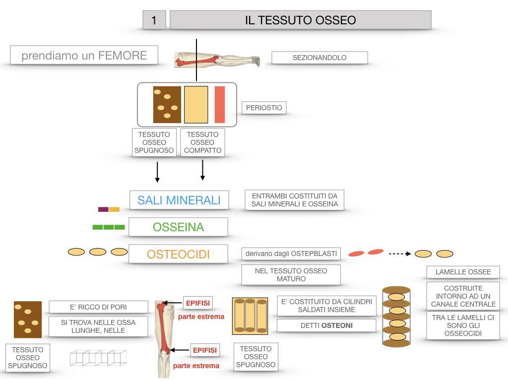 6. TESSUTO OSSEO_ CALCIFICAZIONE_MIDOLLO OSSEO_SIMULAZIONE.022