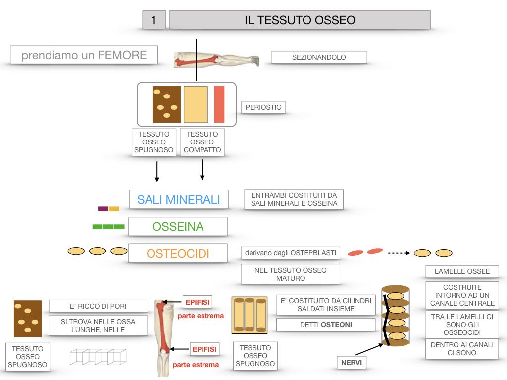6. TESSUTO OSSEO_ CALCIFICAZIONE_MIDOLLO OSSEO_SIMULAZIONE.023