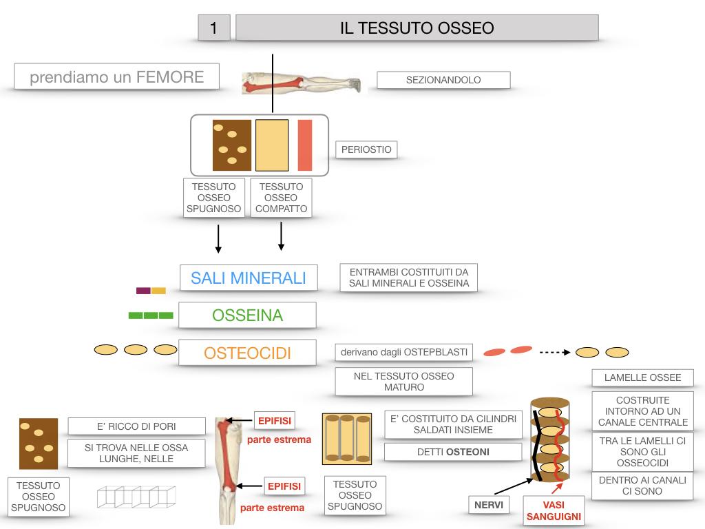 6. TESSUTO OSSEO_ CALCIFICAZIONE_MIDOLLO OSSEO_SIMULAZIONE.024