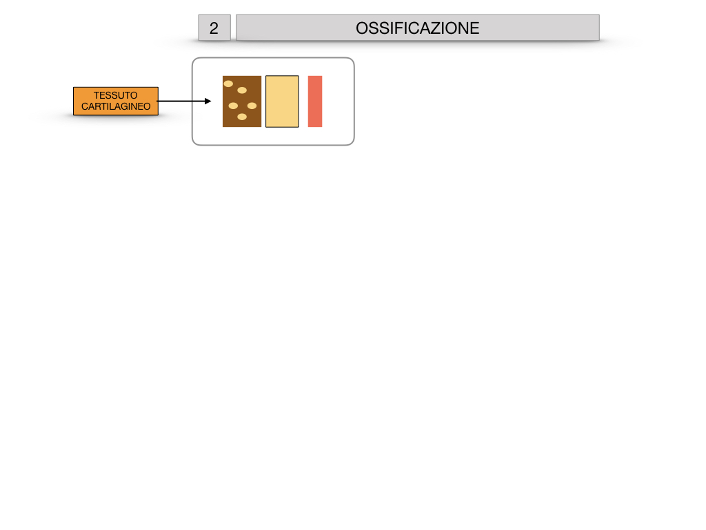 6. TESSUTO OSSEO_ CALCIFICAZIONE_MIDOLLO OSSEO_SIMULAZIONE.026