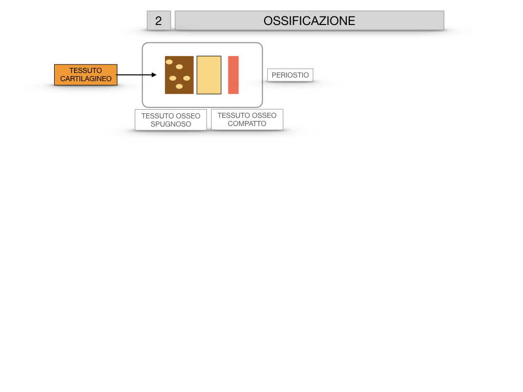 6. TESSUTO OSSEO_ CALCIFICAZIONE_MIDOLLO OSSEO_SIMULAZIONE.027