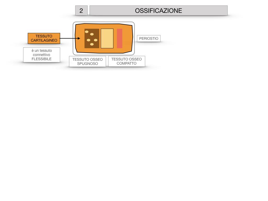 6. TESSUTO OSSEO_ CALCIFICAZIONE_MIDOLLO OSSEO_SIMULAZIONE.028