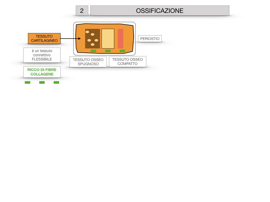 6. TESSUTO OSSEO_ CALCIFICAZIONE_MIDOLLO OSSEO_SIMULAZIONE.029
