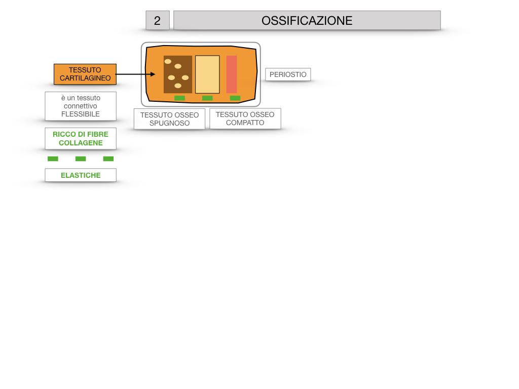 6. TESSUTO OSSEO_ CALCIFICAZIONE_MIDOLLO OSSEO_SIMULAZIONE.030