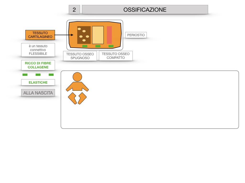 6. TESSUTO OSSEO_ CALCIFICAZIONE_MIDOLLO OSSEO_SIMULAZIONE.031