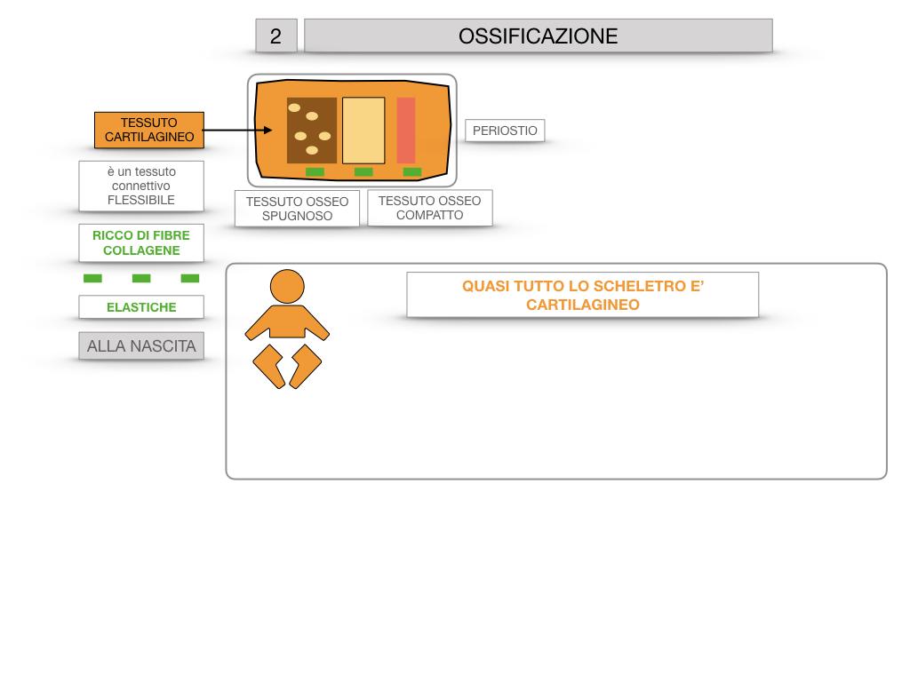 6. TESSUTO OSSEO_ CALCIFICAZIONE_MIDOLLO OSSEO_SIMULAZIONE.032