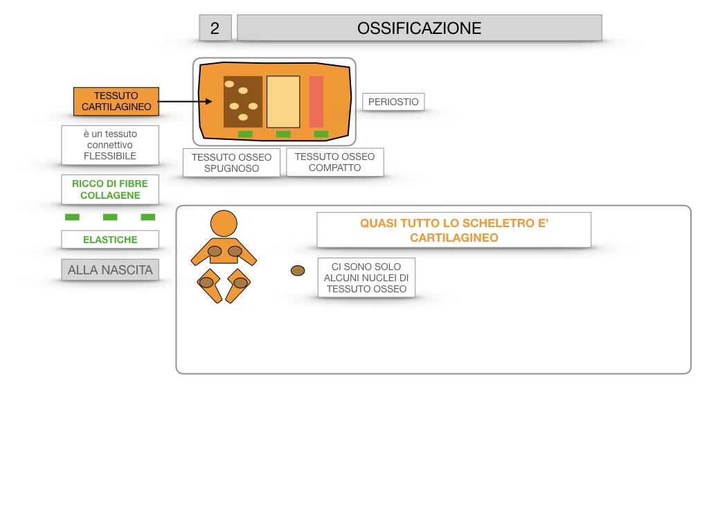 6. TESSUTO OSSEO_ CALCIFICAZIONE_MIDOLLO OSSEO_SIMULAZIONE.033