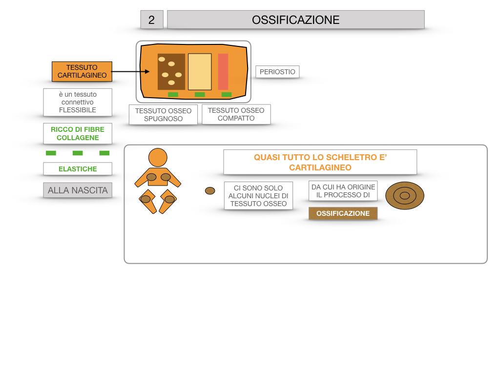6. TESSUTO OSSEO_ CALCIFICAZIONE_MIDOLLO OSSEO_SIMULAZIONE.034