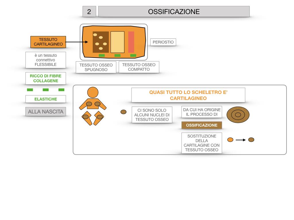 6. TESSUTO OSSEO_ CALCIFICAZIONE_MIDOLLO OSSEO_SIMULAZIONE.035