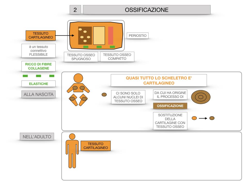 6. TESSUTO OSSEO_ CALCIFICAZIONE_MIDOLLO OSSEO_SIMULAZIONE.036