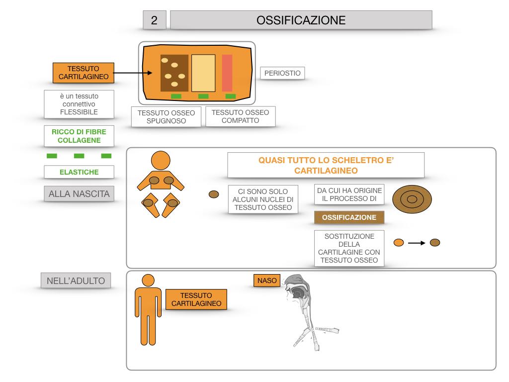 6. TESSUTO OSSEO_ CALCIFICAZIONE_MIDOLLO OSSEO_SIMULAZIONE.037