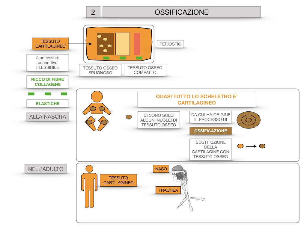 6. TESSUTO OSSEO_ CALCIFICAZIONE_MIDOLLO OSSEO_SIMULAZIONE.038