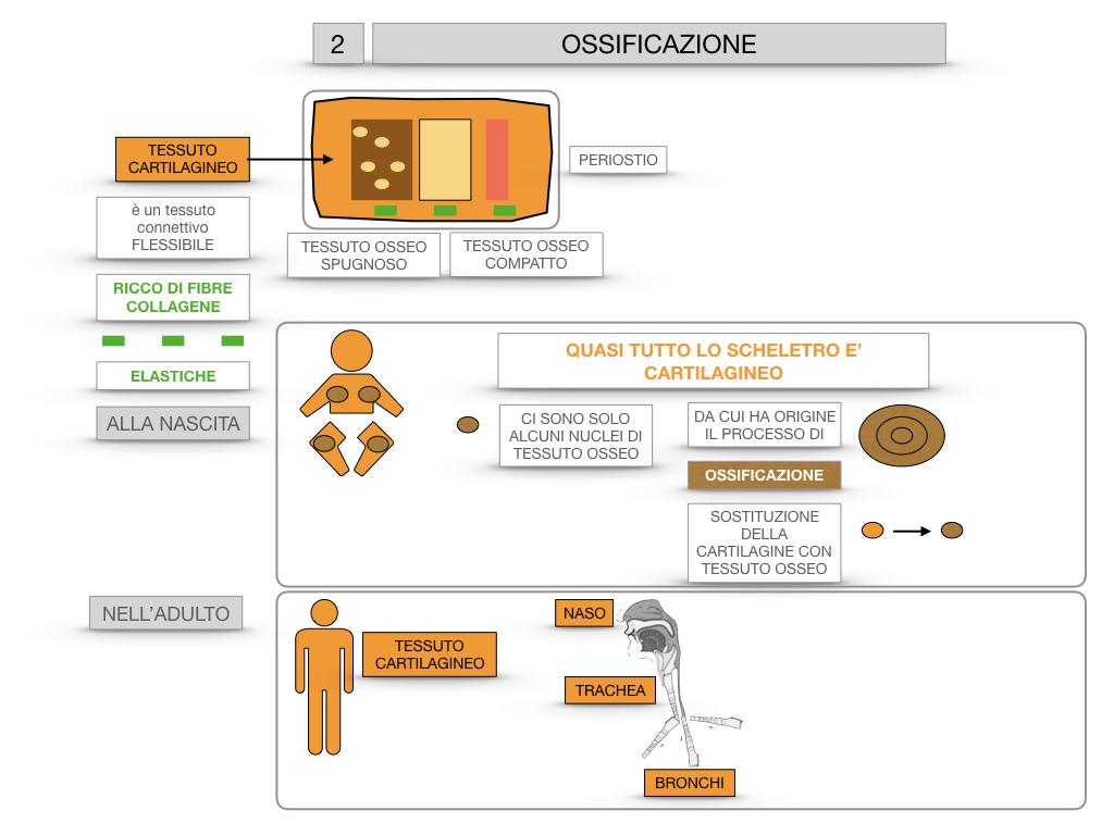 6. TESSUTO OSSEO_ CALCIFICAZIONE_MIDOLLO OSSEO_SIMULAZIONE.039