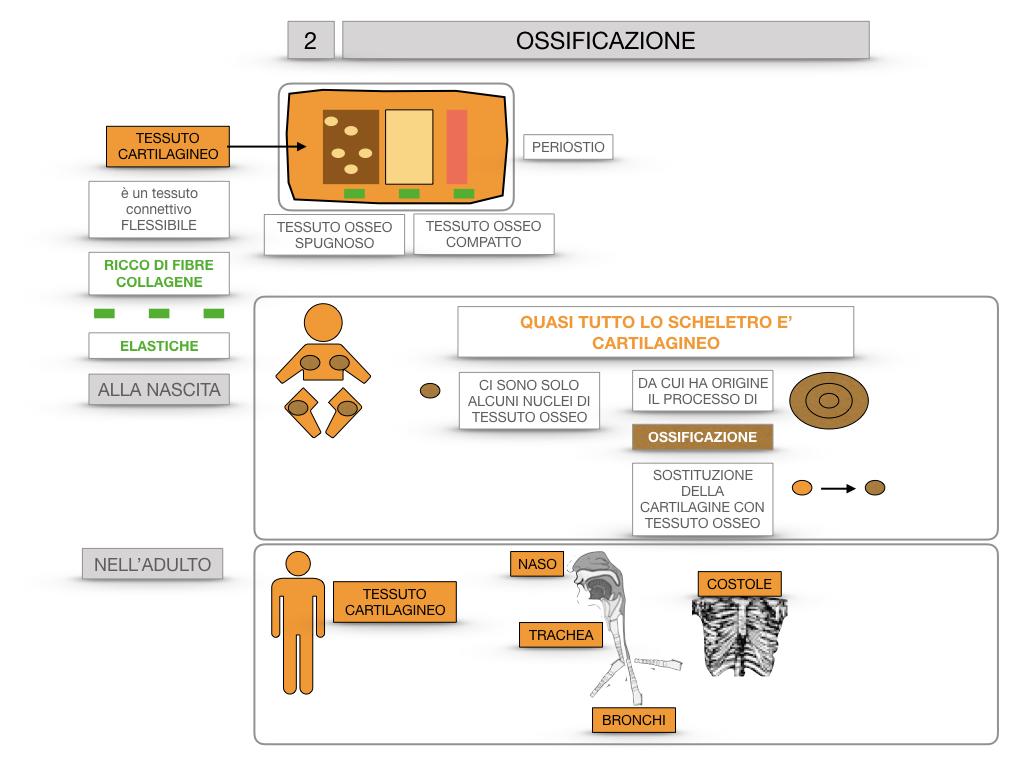 6. TESSUTO OSSEO_ CALCIFICAZIONE_MIDOLLO OSSEO_SIMULAZIONE.040