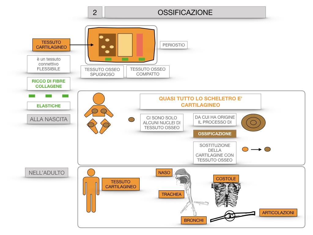 6. TESSUTO OSSEO_ CALCIFICAZIONE_MIDOLLO OSSEO_SIMULAZIONE.041