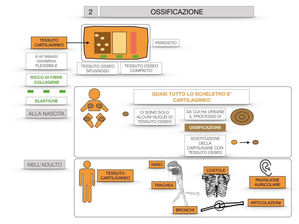 6. TESSUTO OSSEO_ CALCIFICAZIONE_MIDOLLO OSSEO_SIMULAZIONE.042