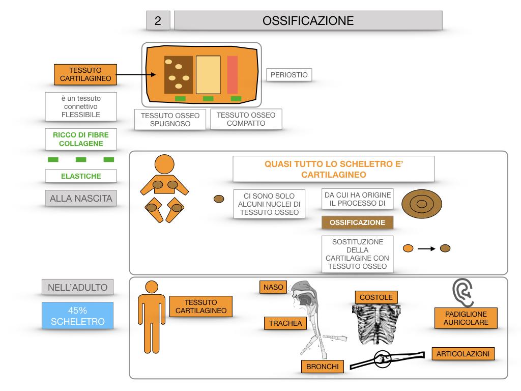 6. TESSUTO OSSEO_ CALCIFICAZIONE_MIDOLLO OSSEO_SIMULAZIONE.043