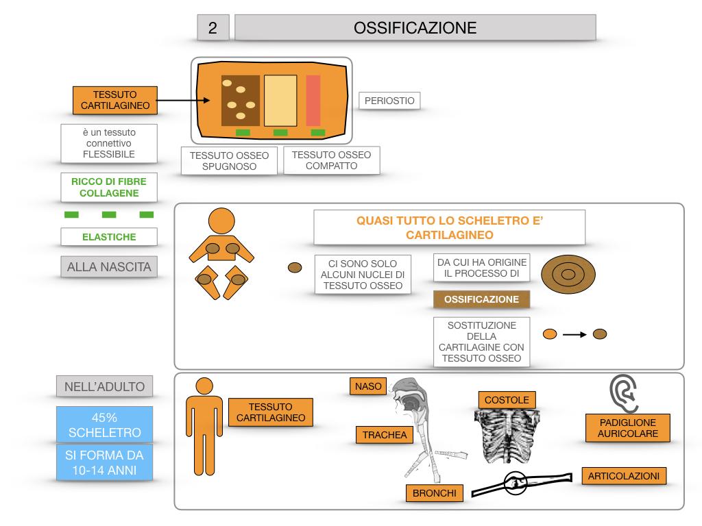 6. TESSUTO OSSEO_ CALCIFICAZIONE_MIDOLLO OSSEO_SIMULAZIONE.044
