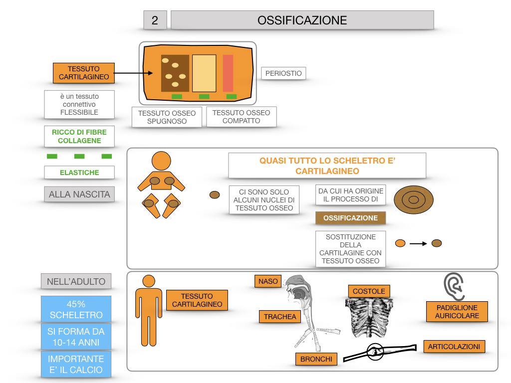 6. TESSUTO OSSEO_ CALCIFICAZIONE_MIDOLLO OSSEO_SIMULAZIONE.045