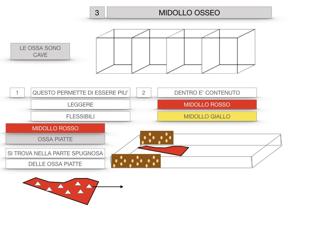 6. TESSUTO OSSEO_ CALCIFICAZIONE_MIDOLLO OSSEO_SIMULAZIONE.058
