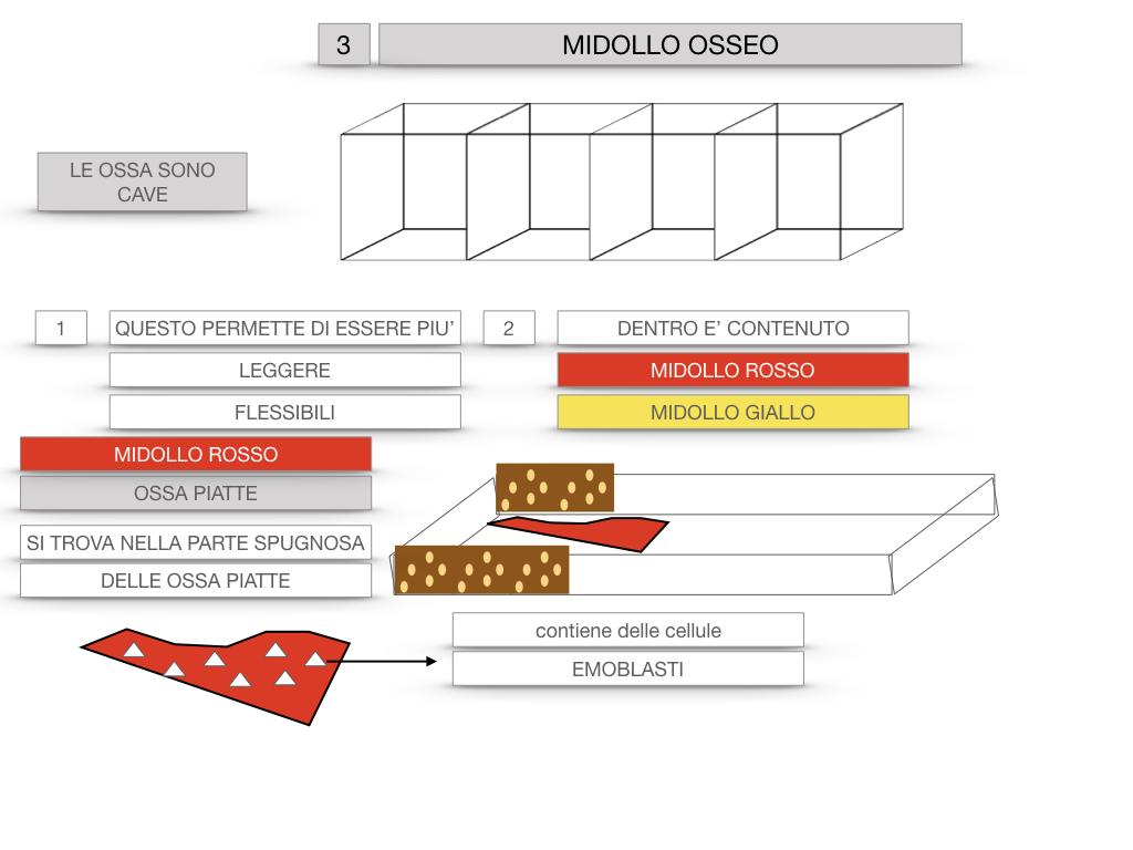 6. TESSUTO OSSEO_ CALCIFICAZIONE_MIDOLLO OSSEO_SIMULAZIONE.060