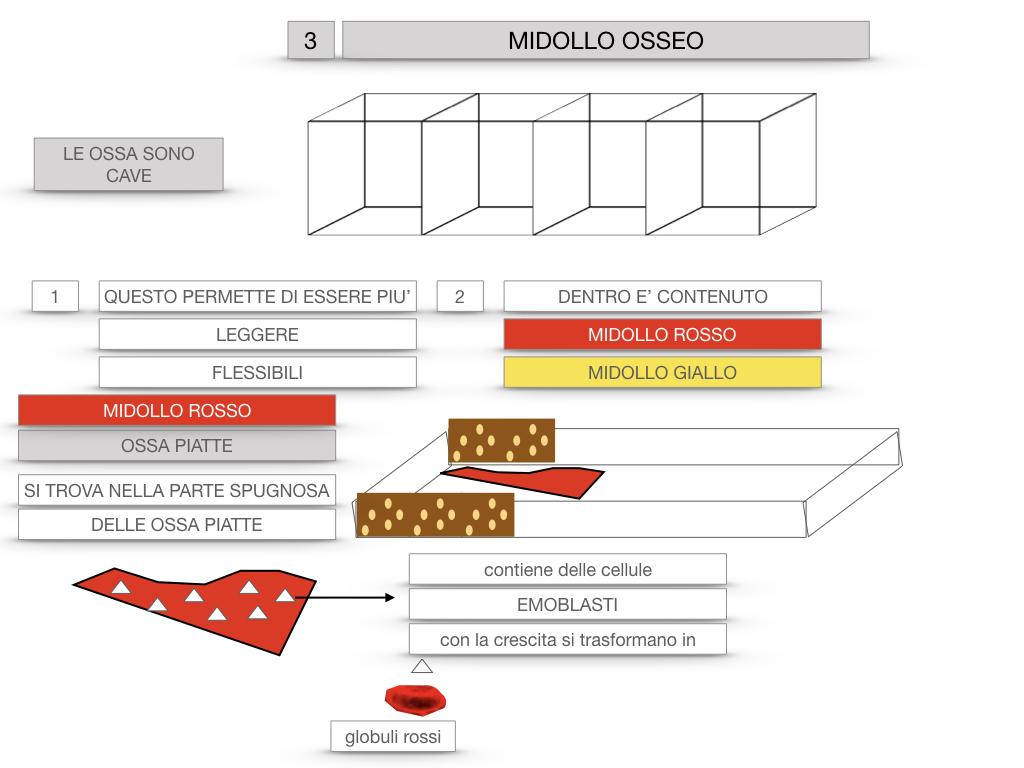 6. TESSUTO OSSEO_ CALCIFICAZIONE_MIDOLLO OSSEO_SIMULAZIONE.062