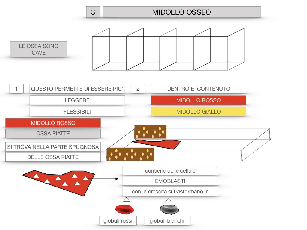 6. TESSUTO OSSEO_ CALCIFICAZIONE_MIDOLLO OSSEO_SIMULAZIONE.063