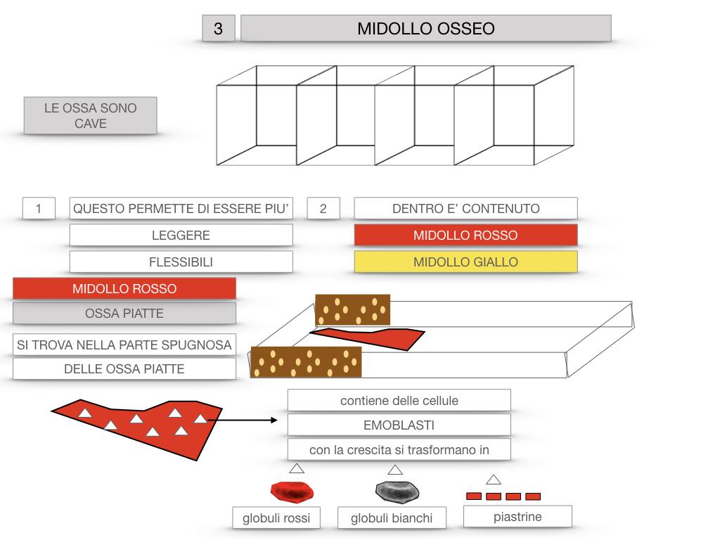 6. TESSUTO OSSEO_ CALCIFICAZIONE_MIDOLLO OSSEO_SIMULAZIONE.064