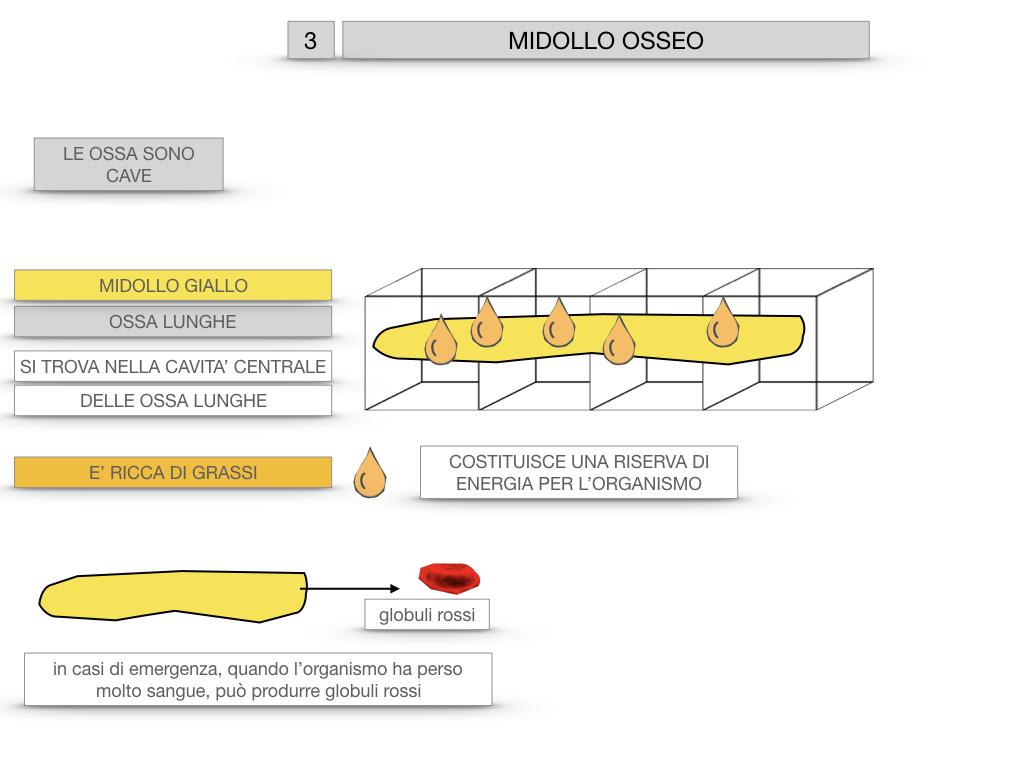 6. TESSUTO OSSEO_ CALCIFICAZIONE_MIDOLLO OSSEO_SIMULAZIONE.074