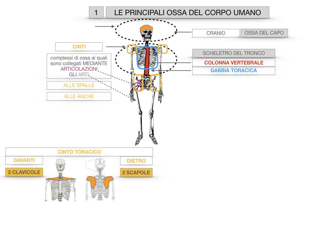 7. LE PRINCIPALI OSSA DEL CORO UMANO_SIMULAZIONE.014