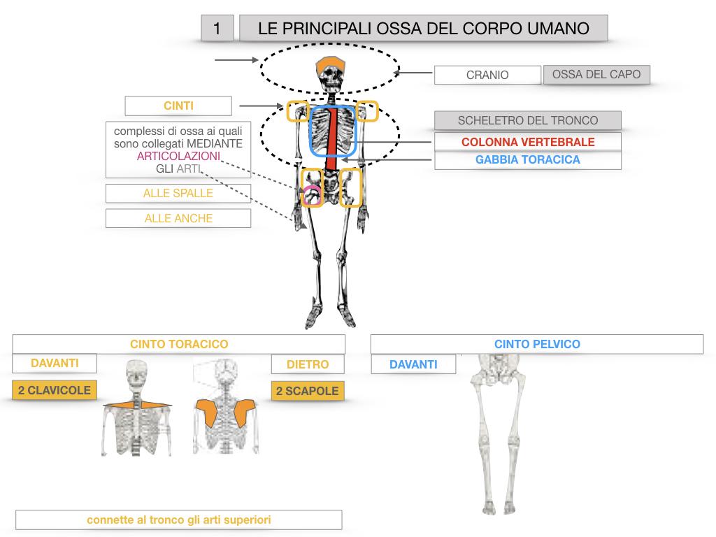 7. LE PRINCIPALI OSSA DEL CORO UMANO_SIMULAZIONE.016