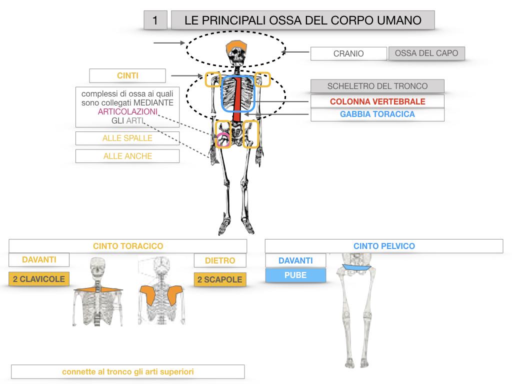7. LE PRINCIPALI OSSA DEL CORO UMANO_SIMULAZIONE.017