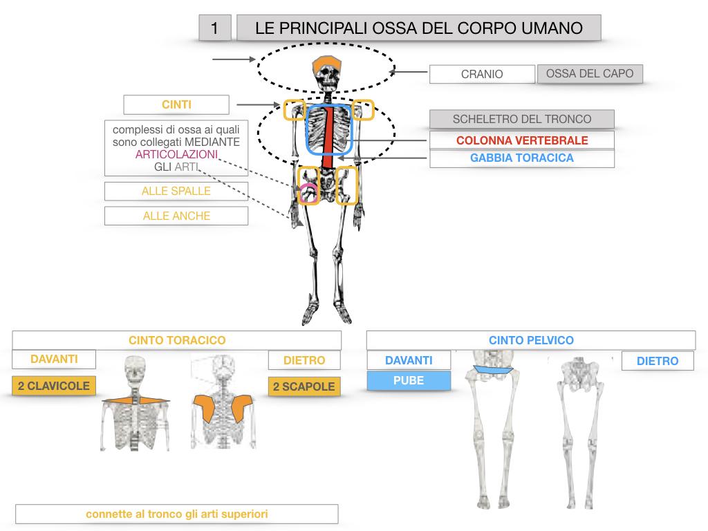 7. LE PRINCIPALI OSSA DEL CORO UMANO_SIMULAZIONE.018