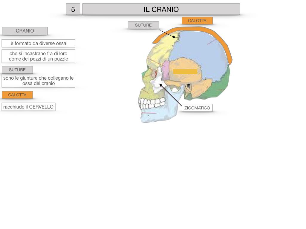 8. LE OSSA DEL CRANIO E DENTI_SIMULAZIONE.009