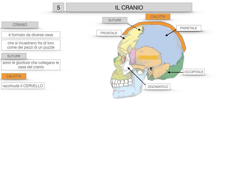 8. LE OSSA DEL CRANIO E DENTI_SIMULAZIONE.012