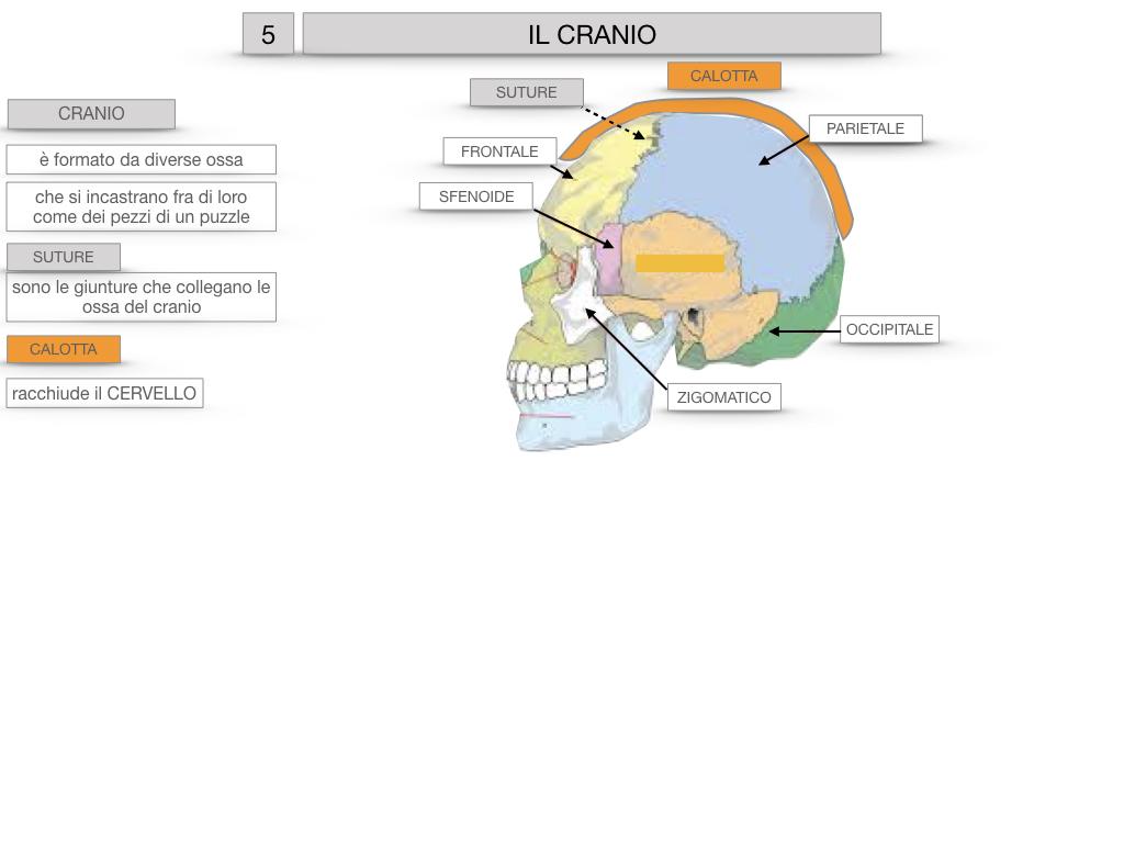 8. LE OSSA DEL CRANIO E DENTI_SIMULAZIONE.013