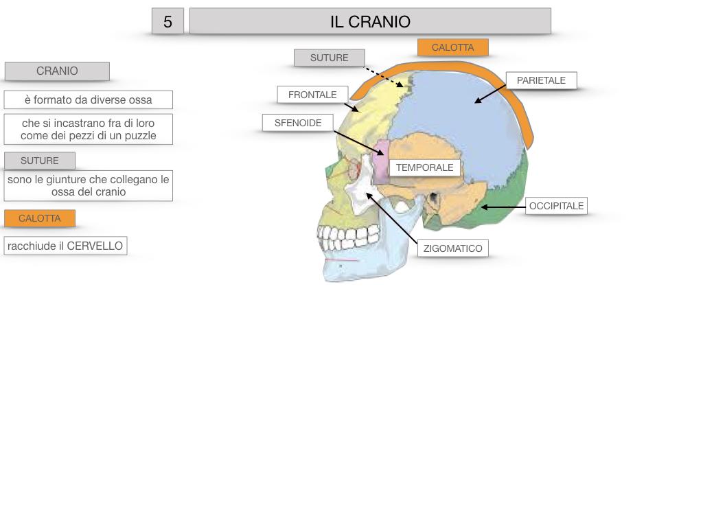 8. LE OSSA DEL CRANIO E DENTI_SIMULAZIONE.014