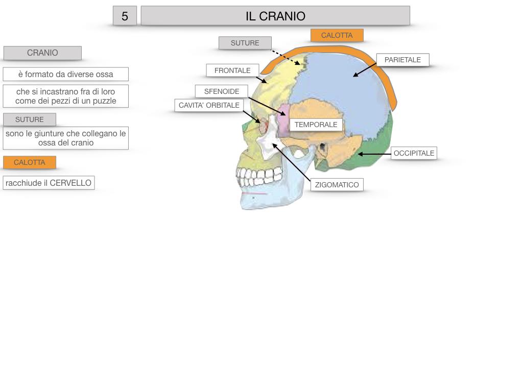 8. LE OSSA DEL CRANIO E DENTI_SIMULAZIONE.015