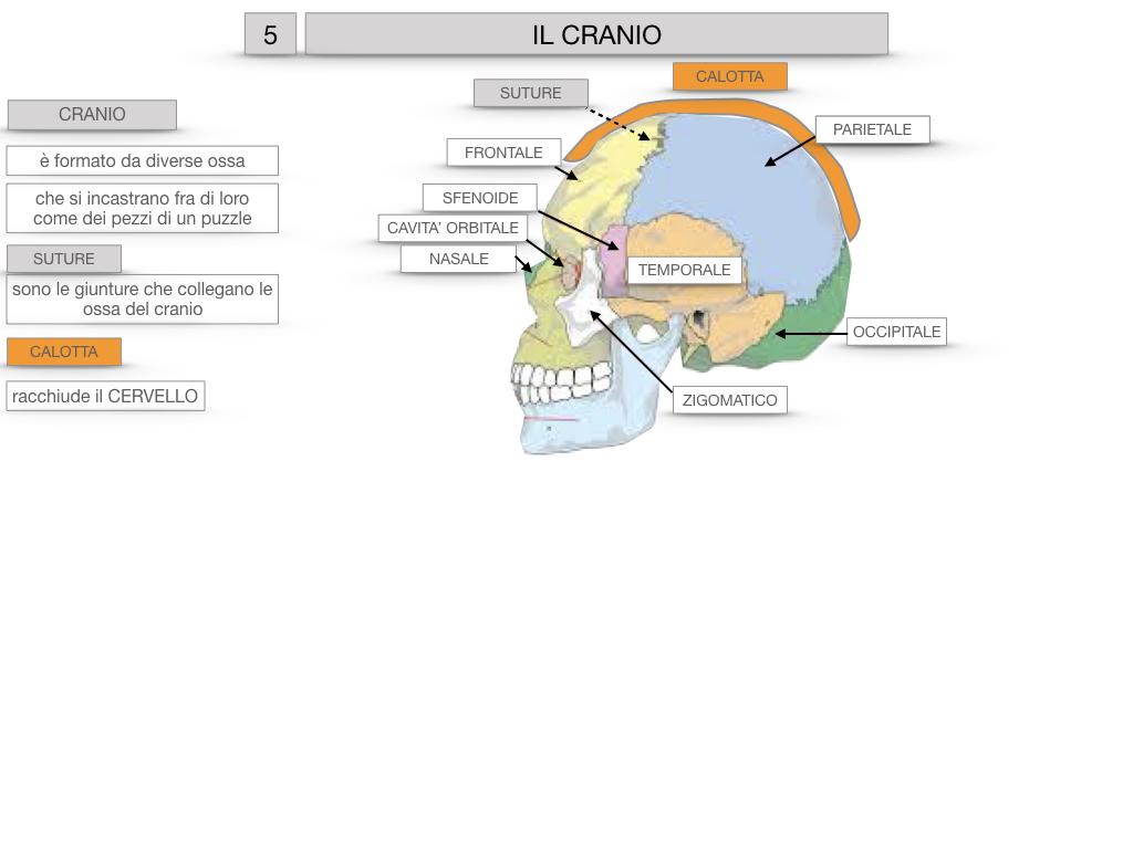 8. LE OSSA DEL CRANIO E DENTI_SIMULAZIONE.016